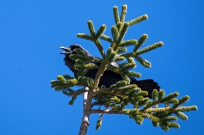 Hungry Raven in a Nobel Fir