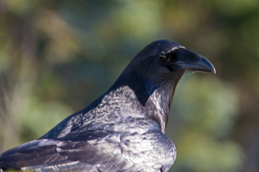 A Misguided Raven on Phlox Point