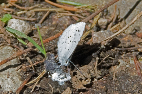 Echo Azure Butterfly