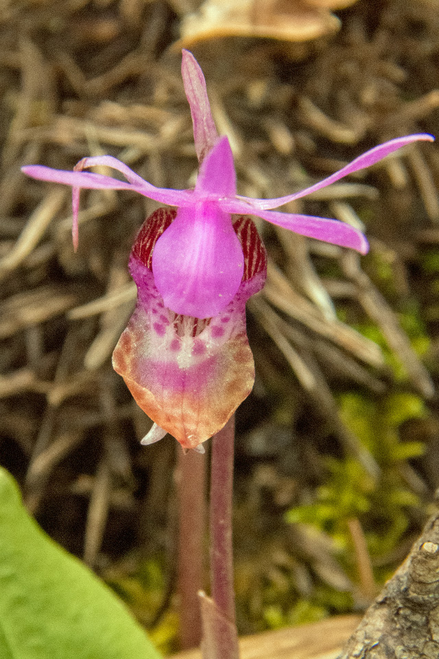 A Wild Orchid on Wildcat Mountain