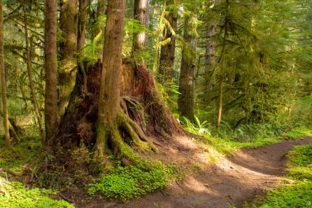 Huge stump along the trail