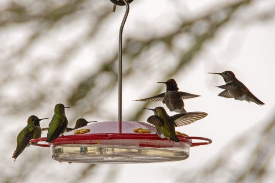 Anna Hummingbirds Wintering in the PNW