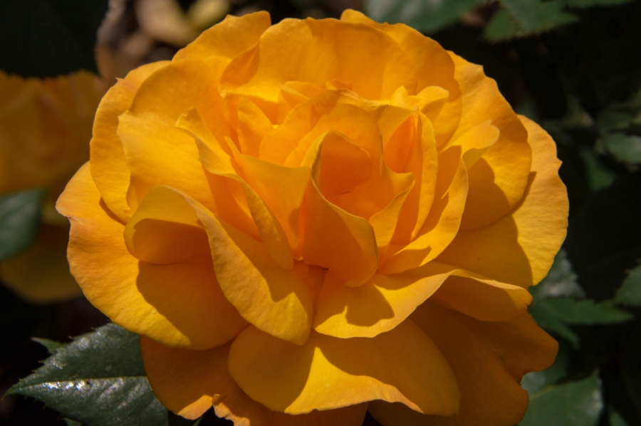 Portland's International Rose Garden at its Peak – PartII