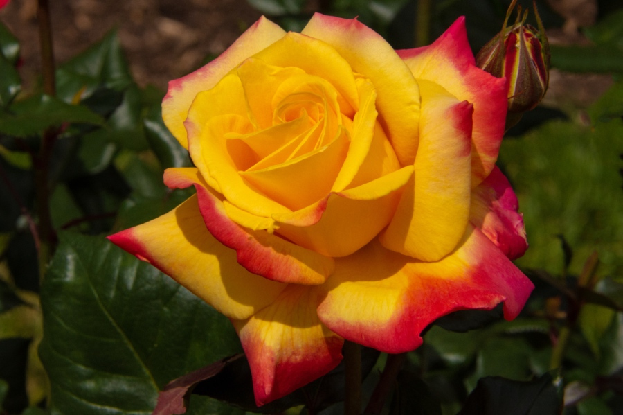 Portland's International Rose Garden at its Peak – PartI